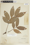 Tetragastris panamensis (Engl.) Kuntze, PERU, F