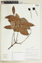 Tetragastris panamensis (Engl.) Kuntze, SURINAME, F