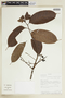 Tetragastris panamensis (Engl.) Kuntze, ECUADOR, F