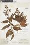 Escallonia paniculata image