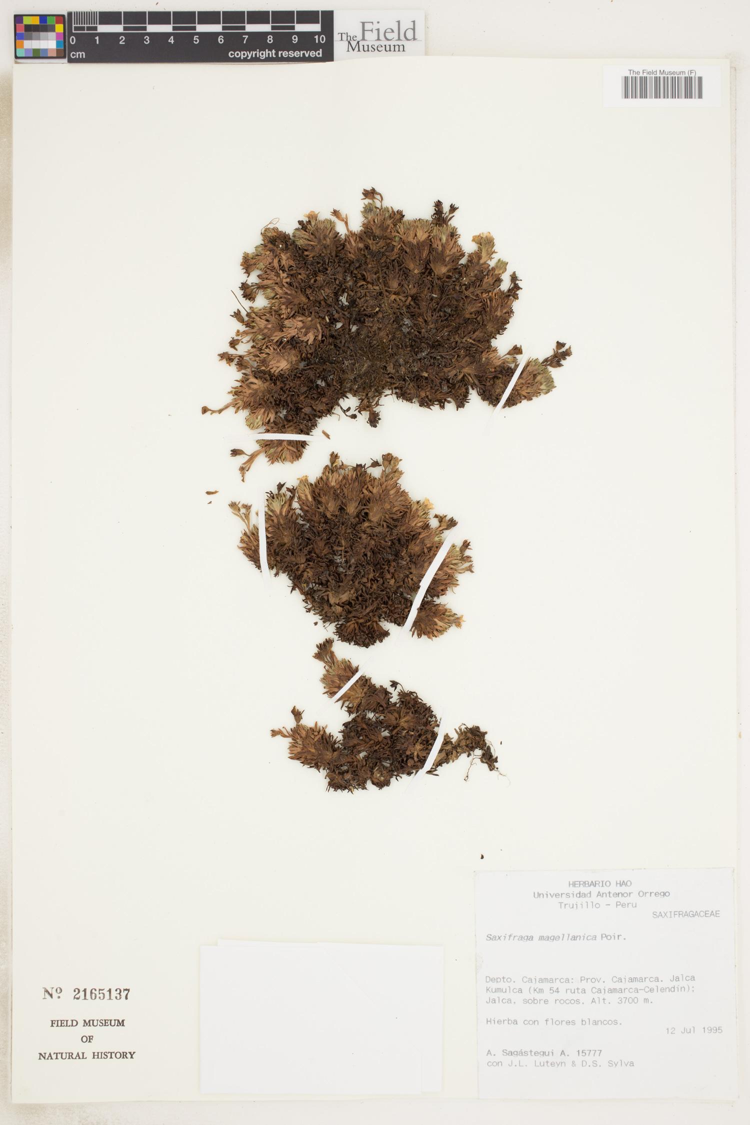 Saxifraga magellanica image