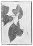 Field Museum photo negatives collection; Genève specimen of Miconia gracilis Triana, PANAMA, Seemann, Type [status unknown], G