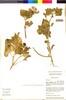 Nolana spathulata image