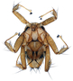 374156 Basilia antrozoi Female Full Dorsal USA-OK TK75511 Wet