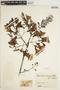 Jacaranda caucana Pittier, COLOMBIA, J. Cuatrecasas 17820, F