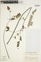 Jacaranda caucana var. sandwithiana A. H. Gentry, COLOMBIA, 6371, F