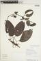 Fridericia trailii (Sprague) L. G. Lohmann, COLOMBIA, T. J. Killeen 4381, F