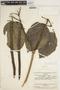 Fridericia trailii (Sprague) L. G. Lohmann, VENEZUELA, J. A. Steyermark 75421, F