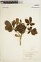 Godmania aesculifolia (Kunth) Standl., VENEZUELA, M. Ramia 2810, F