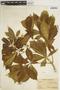 Godmania aesculifolia (Kunth) Standl., VENEZUELA, J. Saer 398, F