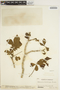 Godmania aesculifolia (Kunth) Standl., VENEZUELA, 1154, F