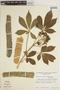Godmania aesculifolia (Kunth) Standl., VENEZUELA, G. Ferrari 710, F