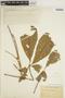 Godmania aesculifolia (Kunth) Standl., BOLIVIA, J. Steinbach 7520, F