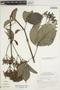 Fridericia trailii (Sprague) L. G. Lohmann, Suriname, J. C. Lindeman 383, F