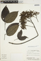 Arrabidaea trailii Sprague, Brazil, D. F. Austin 7158, F