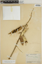 Pachyrhizus tuberosus (Lam.) Spreng., ECUADOR, J. A. Steyermark 52701, F