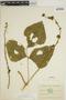 Pachyrhizus tuberosus (Lam.) Spreng., ECUADOR, M. Acosta Solis 10293, F