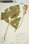 Pachyrhizus tuberosus (Lam.) Spreng., BOLIVIA, E. Wade Davis 1076, F