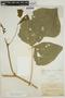 Pachyrhizus tuberosus (Lam.) Spreng., BOLIVIA, M. Bang 1430, F