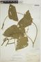 Pachyrhizus tuberosus (Lam.) Spreng., BOLIVIA, H. H. Rusby 1326, F