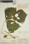 Pachyrhizus tuberosus (Lam.) Spreng., VENEZUELA, H. F. Pittier 14405, F