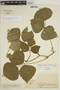 Pachyrhizus tuberosus (Lam.) Spreng., COLOMBIA, J. Cuatrecasas 23073, F