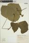 Pachyrhizus tuberosus (Lam.) Spreng., BRAZIL, E. P. Heringer 992, F