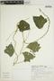 Pachyrhizus tuberosus (Lam.) Spreng., BRAZIL, F. de Barros 2189, F