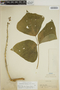 Pachyrhizus tuberosus (Lam.) Spreng., PERU, G. Klug 885, F