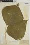 Pachyrhizus tuberosus (Lam.) Spreng., PERU, G. Klug 2225, F