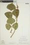 Pachyrhizus tuberosus (Lam.) Spreng., Brazil, H. S. Irwin 21114, F