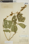 Pachyrhizus tuberosus (Lam.) Spreng., Ecuador, Y. Mexía 6717, F
