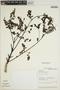 Jacaranda caucana Pittier, VENEZUELA, R. L. Liesner 10655, F