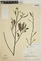 Aspidosperma discolor A. DC., SURINAME, H. S. Irwin 55021, F