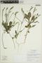 Elytraria imbricata (Vahl) Pers., BOLIVIA, M. Nee 53299, F