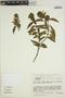 Poikilacanthus bahiensis (Nees) Wassh., BRAZIL, J. R. Pirani 1991, F