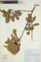 Tapirira guianensis Aubl., BRAZIL, R. Mello-Silva 3029, F