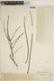 Jacaranda obtusifolia Bonpl., VENEZUELA, Ll. Williams 10156, F