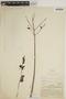 Jacaranda obtusifolia Bonpl., COLOMBIA, A. Dugand G. 1018, F