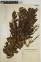 Jacaranda macrocarpa Bureau & K. Schum., BRAZIL, H. L. de Mello Barreto 1672, F