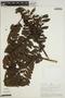 Jacaranda cf. macrocarpa Bureau & K. Schum., PERU, A. H. Gentry 21227, F