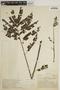 Jacaranda obtusifolia Bonpl., COLOMBIA, A. Dugand G. 901, F