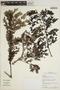 Jacaranda obtusifolia subsp. rhombifolia (G. Mey.) A. H. Gentry, BRITISH GUIANA [Guyana], M. J. Jansen-Jacobs 1115, F