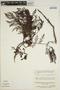 Jacaranda obtusifolia subsp. rhombifolia (G. Mey.) A. H. Gentry, VENEZUELA, J. A. Steyermark 14 jan 1977, F