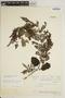 Jacaranda obtusifolia subsp. rhombifolia (G. Mey.) A. H. Gentry, BRAZIL, E. L. Little, Jr. 17589, F