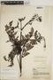 Jacaranda obtusifolia subsp. rhombifolia (G. Mey.) A. H. Gentry, VENEZUELA, J. A. Steyermark 60965, F