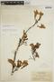 Jacaranda obtusifolia subsp. rhombifolia (G. Mey.) A. H. Gentry, BRITISH GUIANA [Guyana], J. S. de la Cruz 1345, F