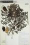 Jacaranda obtusifolia Bonpl., SURINAME, R. J. Evans 3385, F