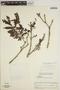 Jacaranda obtusifolia subsp. rhombifolia (G. Mey.) A. H. Gentry, BRITISH GUIANA [Guyana], L. Marcano-Berti 537, F
