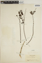 Jacaranda obtusifolia Bonpl., COLOMBIA, J. Cuatrecasas 3849, F